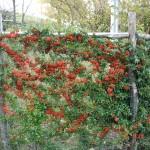 Rossa piracanta nel nostro giardino