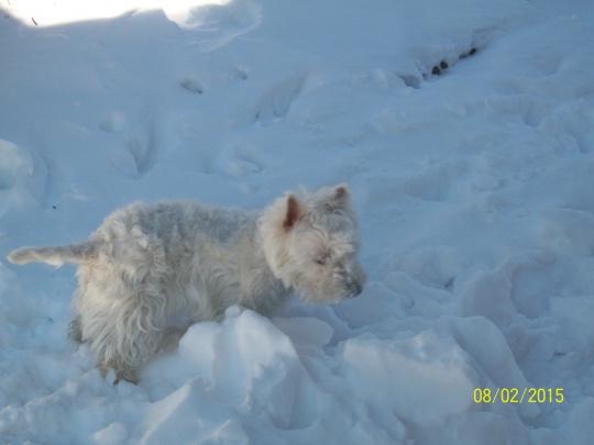 Mirtilla nella neve .